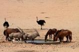 Africa;african;animal;animals;Antelope;Antelopes;Aus;bird;bird-spotting;birds;desert;desert-horse;desert-horses;deserts;dry;equestrian;expanse;feral-desert-horses;feral-horse;feral-horses;game-viewing;Garub;Garub-waterhole;Gemsbok;gemsboks;herd;herds;horse;horses;Mammal;Mammals;Namib-Desert;Namib-Naukluft-N.P.;Namib-Naukluft-National-Park;Namib-Naukluft-NP;Namib_Naukluft-N.P.;Namib_Naukluft-National-Park;Namib_Naukluft-NP;Namibia;nature;Oryx;Oryx-gazella;oryxes;oryxs;ostrich;ostriches;Southern-Africa;Southern-Namiba;Struthio-camelus;water-hole;water-holes;water_hole;water_holes;waterhole;waterholes;Wild;wild-desert-horses;wild-horse;wild-horses;wilderness;Wildlife