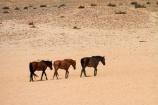 Africa;Aus;desert;desert-horse;desert-horses;deserts;dry;equestrian;feral-desert-horses;feral-horse;feral-horses;Garub;herd;herds;horse;horses;Namib-Desert;Namib-Naukluft-N.P.;Namib-Naukluft-National-Park;Namib-Naukluft-NP;Namib_Naukluft-N.P.;Namib_Naukluft-National-Park;Namib_Naukluft-NP;Namibia;Southern-Africa;Southern-Namiba;wild-desert-horses;wild-horse;wild-horses