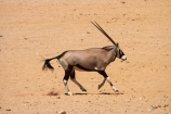 Africa;Animal;Animals;Antelope;Antelopes;Aus;desert;deserts;dry;expanse;Garub;Gemsbok;gemsboks;Mammal;Mammals;Namib-Desert;Namib-Naukluft-N.P.;Namib-Naukluft-National-Park;Namib-Naukluft-NP;Namib_Naukluft-N.P.;Namib_Naukluft-National-Park;Namib_Naukluft-NP;Namibia;Nature;Oryx;Oryx-gazella;oryxes;oryxs;Southern-Africa;Southern-Namiba;Wild;wilderness;Wildlife
