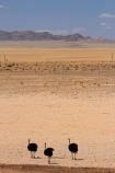 africa;african;animal;animals;Aus;bird;bird-spotting;birds;desert;deserts;dry;game-viewing;Garub;Namib-Desert;Namib-Naukluft-N.P.;Namib-Naukluft-National-Park;Namib-Naukluft-NP;Namib_Naukluft-N.P.;Namib_Naukluft-National-Park;Namib_Naukluft-NP;Namibia;nature;ostrich;ostriches;sand;sandy;Southern-Africa;Southern-Namiba;Struthio-camelus;wild;wildlife