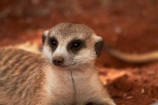 707-road;Africa;animal;animals;D707-road;Gray-meerkat;Grey-meerkat;Herpestidae;Koiimasis;mammal;mammals;meerkat;meerkats;mongoose;Namib-Desert;Namibia;Ranch-Koiimasis;Southern-Africa;Southern-Namiba;Suricata;Suricata-suricatta;suricate;suricates;Tiras-Mountains;Tiras-Mountains-Conservancy;wildlife