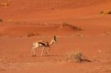 africa;african;Animal;Animals;Antelope;Antelopes;Antidorcas-marsupialis;arid;desert;deserts;dry;dune;dunes;expanse;hot;Mammal;Mammals;Namib-Desert;Namib-Naukluft-N.P.;Namib-Naukluft-National-Park;Namib-Naukluft-NP;Namib_Naukluft-N.P.;Namib_Naukluft-National-Park;Namib_Naukluft-NP;Namibia;national-park;national-parks;natural;Nature;orange-sand;remote;remoteness;reserve;reserves;sand;sand-dune;sand-dunes;sand-hill;sand-hills;sand_dune;sand_dunes;sand_hill;sand_hills;sanddune;sanddunes;sandhill;sandhills;sandy;Southern-Africa;springbok;springboks;Wild;wilderness;Wildlife