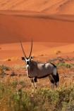 africa;african;Animal;Animals;Antelope;Antelopes;arid;big-dunes;desert;deserts;dry;dune;dunes;expanse;Gemsbok;gemsboks;giant-dune;giant-dunes;giant-sand-dune;giant-sand-dunes;hot;huge-dunes;large-dunes;Mammal;Mammals;Namib-Desert;Namib-Naukluft-N.P.;Namib-Naukluft-National-Park;Namib-Naukluft-NP;Namib_Naukluft-N.P.;Namib_Naukluft-National-Park;Namib_Naukluft-NP;Namibia;national-park;national-parks;natural;Nature;orange-sand;Oryx;Oryx-gazella;oryxes;oryxs;remote;remoteness;reserve;reserves;sand;sand-dune;sand-dunes;sand-hill;sand-hills;sand_dune;sand_dunes;sand_hill;sand_hills;sanddune;sanddunes;sandhill;sandhills;sandy;Sossusvlei;Southern-Africa;Wild;wilderness;Wildlife