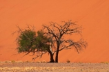 Acacia-tree;Africa;arid;big-dunes;desert;deserts;dry;dune;Dune-45;Dune-Forty-Five;dunes;giant-dune;giant-dunes;giant-sand-dune;giant-sand-dunes;hot;huge-dunes;large-dunes;Namib-Desert;Namib-Naukluft-N.P.;Namib-Naukluft-National-Park;Namib-Naukluft-NP;Namib_Naukluft-N.P.;Namib_Naukluft-National-Park;Namib_Naukluft-NP;Namibia;national-park;national-parks;natural;orange-sand;remote;remoteness;reserve;reserves;sand;sand-dune;sand-dunes;sand-hill;sand-hills;sand_dune;sand_dunes;sand_hill;sand_hills;sanddune;sanddunes;sandhill;sandhills;sandy;Southern-Africa;tree;trees;wilderness