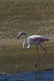Africa;animal;animals;Atlantic-Coast;avian;bird;bird-watching;birds;eco-tourism;eco_tourism;ecotourism;Fauna;flight;fly;flying;Greater-Flamingo;Greater-Flamingoes;Namibia;Natural;Nature;Ornithology;Phoenicopterus-roseus;Southern-Africa;Walfischbai;Walfischbucht;Walvis-Bay;Walvisbaai;wildlife