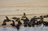 Africa;animal;animals;Arctocephalus-pusillus;Atlantic-Coast;Atlantic-Ocean;beach;beaches;boat-cruise;boat-cruises;brown-fur-seal;Cape-Fur-Seal;colonies;colony;fur-seal;fur-seals;mammal;mammals;Mola-Mola;Mola-Mola-Boat-Tours;Mola-Mola-Safaris;Mola-Mola-Tours;Namibia;Pelican-Point;sandy;seal;seal-colonies;seal-colony;seals;Skeleton-Coast;South-African-fur-seal;Southern-Africa;Walfischbai;Walfischbucht;Walvis-Bay;Walvis-Bay-Harbour;Walvisbaai;wildlife