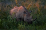 Africa;animal;animals;black-rhinoceros;Diceros-bicornis;Etosha-N.P.;Etosha-National-Park;Etosha-NP;game-park;game-parks;game-reserve;game-reserves;hook-lipped-rhinoceros;hook_lipped-rhinoceros;mammal;mammals;Namibia;national-park;national-parks;rhino;rhinoceros;rhinoceroses;rhinocerotes;rhinos;Southern-Africa;wildlife;wildlife-park;wildlife-parks;wildlife-reserve;wildlife-reserves