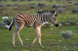 Africa;animal;animals;baby;babys;Burchells-zebra;colt;colts;Equus-quagga;Equus-quagga-burchellii;Etosha-N.P.;Etosha-National-Park;Etosha-NP;foal;foals;game-park;game-parks;game-reserve;game-reserves;mammal;mammals;Namibia;national-park;national-parks;Plains-zebra;Southern-Africa;Steppenzebra;wildlife;wildlife-park;wildlife-parks;wildlife-reserve;wildlife-reserves;young-zebra;Zebra;zerbras