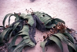 Africa;african;Welwitschia;welwitschia-mirabilis;botany;horticulture;nature;ecosystem;ecosystems;vegetation;outdoor;outdoors;outside;plant;plants;exterior