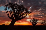 karas;karas-region;africa;african;aloe;Aloe-dichotoma;aloes;bark;botany;cloud;clouds;desert;desert-plant;desert-plants;dusk;evening;forest;forests;Keetmanshoop;kokerboom-forest;Kokerboom-Tree;Kokerboom-Trees;Mesosaurus-Camp;Mesosaurus-Fossil-Camp;nambia;Namib-Desert;Namibia;namibian;nature;night;night_time;nightfall;plant;plants;Quiver-Tree;quiver-tree-forest;Quiver-Trees;quivers;quivertree-forest;Southern-Africa;Southern-Namiba;southern-Namibia;sunset;sunsets;tree;trees;twilight;unusual;vegetation