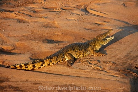 Africa;African-animals;African-wildlife;animal;animals;croc;crocodile;crocodiles;Crocodylus-niloticus;crocs;game-drive;game-park;game-parks;game-reserve;game-reserves;game-viewing;Great-Limpopo-Transfrontier-Park;Kruger;Kruger-N.P.;Kruger-National-Park;Kruger-NP;Kruger-reserve;Kruger-to-Canyons-Biosphere;Letaba-River;national-park;national-parks;natural;nature;Nile-crocodile;Nile-crocodiles;reptile;reptiles;Republic-of-South-Africa;reserve;reserves;river;rivers;safari;safaris;South-Africa;South-African-Republic;Southern-Africa;wild;wilderness;wildlife;wildlife-park;wildlife-parks;wildlife-reserve;wildlife-reserves