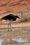 Africa;arid;bird;bird-spotting;birds;Botswana;desert;deserts;dry;dune;dunes;game-viewing;Gemsbok-National-Park;hot;Kalahari-Desert;Kalahari-Gemsbok-N.P.;Kalahari-Gemsbok-National-Park;Kalahari-Gemsbok-NP;Kgalagadi;Kgalagadi-Park;Kgalagadi-Transfrontier-Park;national-park;national-parks;natural;nature;orange-sand;Ostrich;ostriches;park;parks;remote;remoteness;Republic-of-South-Africa;reserve;reserves;safari;safaris;sand;sandy;South-Africa;South-African-Republic;Southern-Africa;Struthio-camelus;wild;wilderness;wildlife