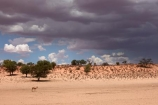 Africa;African;animal;animals;antelope;antelopes;Antidorcas-marsupialis;approaching-storm;approaching-storms;black-cloud;black-clouds;Botswana;cloud;clouds;cloudy;dark-cloud;dark-clouds;desert;deserts;game-park;game-parks;game-reserve;game-reserves;Gemsbok-National-Park;gray-cloud;gray-clouds;grey-cloud;grey-clouds;Kalahari-Desert;Kalahari-Gemsbok-N.P.;Kalahari-Gemsbok-National-Park;Kalahari-Gemsbok-NP;Kgalagadi;Kgalagadi-Park;Kgalagadi-Transfrontier-Park;mammal;mammals;Mata-Mata;national-park;national-parks;park;parks;rain-cloud;rain-clouds;rain-storm;rain-storms;rainy-season;Republic-of-South-Africa;safari;safaris;South-Africa;South-African-Republic;Southern-Africa;springbok;springboks;springbuck;storm;storm-cloud;storm-clouds;storms;summer;thunder-storm;thunder-storms;thunderstorm;thunderstorms;weather;wet-season;wilderness;wildlife;wildlife-park;wildlife-parks;wildlife-reserve;wildlife-reserves