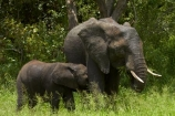 Africa;African-animals;African-bush-elephant;African-bush-elephants;African-elephant;African-elephants;African-wildlife;animal;animals;babies;baby;baby-drinking;baby-suckling;calf;calf-suckling;calfs;calves;elephant;elephants;game-drive;game-park;game-parks;game-reserve;game-reserves;game-viewing;Great-Limpopo-Transfrontier-Park;Kruger;Kruger-N.P.;Kruger-National-Park;Kruger-NP;Kruger-reserve;Kruger-to-Canyons-Biosphere;Loxodonta-africana;mammal;mammals;national-park;national-parks;natural;nature;pachyderm;pachyderms;Republic-of-South-Africa;reserve;reserves;South-Africa;South-African-Republic;Southern-Africa;tusk;tusks;wild;wilderness;wildlife;wildlife-park;wildlife-parks;wildlife-reserve;wildlife-reserves