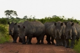 Africa;African-animals;African-wildlife;animal;animals;Ceratotherium-simum;Ceratotherium-simum-simum;crash;game-drive;game-park;game-parks;game-reserve;game-reserves;game-viewing;Great-Limpopo-Transfrontier-Park;herd;herds;Kruger;Kruger-N.P.;Kruger-National-Park;Kruger-NP;Kruger-reserve;Kruger-to-Canyons-Biosphere;mammal;mammals;national-park;national-parks;natural;nature;Republic-of-South-Africa;reserve;reserves;rhino;rhinoceros;rhinoceroses;rhinocerotes;rhinos;South-Africa;South-African-Republic;Southern-Africa;southern-square_lipped-rhinoceros;southern-square_lipped-rhinoceroses;southern-white-rhinoceros;southern-white-rhinoceroses;square_lipped-rhinoceros;square_lipped-rhinoceroses;white-rhino;white-rhinoceros;white-rhinos;wild;wilderness;wildlife;wildlife-park;wildlife-parks;wildlife-reserve;wildlife-reserves