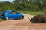 Africa;African;African-animals;African-wildlife;animal;animals;blue-car;blue-cars;car;cars;Ceratotherium-simum;Ceratotherium-simum-simum;crash;endangered-wildlife;game-drive;game-drives;game-park;game-parks;game-reserve;game-reserves;game-viewing;Great-Limpopo-Transfrontier-Park;herd;herds;Kruger;Kruger-N.P.;Kruger-National-Park;Kruger-NP;Kruger-reserve;Kruger-to-Canyons-Biosphere;mammal;mammals;national-park;national-parks;natural;nature;Republic-of-South-Africa;reserve;reserves;rhino;rhinoceros;rhinoceroses;rhinocerotes;rhinos;South-Africa;South-African-Republic;Southern-Africa;southern-square_lipped-rhinoceros;southern-square_lipped-rhinoceroses;southern-white-rhinoceros;southern-white-rhinoceroses;square_lipped-rhinoceros;square_lipped-rhinoceroses;threatened-wildlife;Toyota;Toyota-Aygo;Toyotas;white-rhino;white-rhinoceros;white-rhinos;wild;wilderness;wildlife;wildlife-park;wildlife-parks;wildlife-reserve;wildlife-reserves