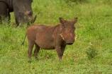 Africa;African;African-animals;African-wildlife;animal;animals;Ceratotherium-simum;Ceratotherium-simum-simum;Common-Warthog;Common-Warthogs;game-drive;game-park;game-parks;game-reserve;game-reserves;game-viewing;Great-Limpopo-Transfrontier-Park;kneel;kneeling;Kruger;Kruger-N.P.;Kruger-National-Park;Kruger-NP;Kruger-reserve;Kruger-to-Canyons-Biosphere;mammal;mammals;national-park;national-parks;natural;nature;Phacochoerus-africanus;Phacochoerus-africanus-sundevallii;Republic-of-South-Africa;reserve;reserves;rhino;rhinoceros;rhinoceroses;rhinocerotes;rhinos;South-Africa;South-African-Republic;Southern-Africa;southern-square_lipped-rhinoceros;southern-square_lipped-rhinoceroses;Southern-Warthog;southern-white-rhinoceros;southern-white-rhinoceroses;square_lipped-rhinoceros;square_lipped-rhinoceroses;Warthog;Warthogs;white-rhino;white-rhinoceros;white-rhinos;wild;wilderness;wildlife;wildlife-park;wildlife-parks;wildlife-reserve;wildlife-reserves