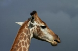Africa;African;African-animals;African-wildlife;animal;animals;close-up;close-ups;close_up;close_ups;game-drive;game-park;game-parks;game-reserve;game-reserves;game-viewing;Giraffa-camelopardalis;Giraffa-camelopardalis-giraffa;giraffe;giraffes;Great-Limpopo-Transfrontier-Park;Kruger;Kruger-N.P.;Kruger-National-Park;Kruger-NP;Kruger-reserve;Kruger-to-Canyons-Biosphere;mammal;mammals;national-park;national-parks;natural;nature;Republic-of-South-Africa;reserve;reserves;South-Africa;South-African-Giraffe;South-African-Giraffes;South-African-Republic;Southern-Africa;wild;wilderness;wildlife;wildlife-park;wildlife-parks;wildlife-reserve;wildlife-reserves