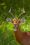 Aepyceros-melampus;Aepyceros-melampus-melampus;Africa;African-animals;African-wildlife;animal;animals;antelope;antelopes;game-drive;game-park;game-parks;game-reserve;game-reserves;game-viewing;Great-Limpopo-Transfrontier-Park;impala;impalas;Kruger;Kruger-N.P.;Kruger-National-Park;Kruger-NP;Kruger-reserve;Kruger-to-Canyons-Biosphere;male;male-impala;male-impalas;males;mammal;mammals;national-park;national-parks;natural;nature;Republic-of-South-Africa;reserve;reserves;South-Africa;South-African-Republic;Southern-Africa;wild;wilderness;wildlife;wildlife-park;wildlife-parks;wildlife-reserve;wildlife-reserves