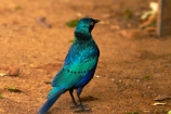 Africa;Animal;animals;avian;bird;bird-spotting;bird-watching;bird_watching;birds;Blue_eared-Glossy_starling;Blue_eared-Glossy_starlings;Blue_eared-Starling;Blue_eared-Starlings;eco-tourism;eco_tourism;ecotourism;Fauna;game-park;game-parks;game-reserve;game-reserves;Glossy-starling;Glossy-starlings;Great-Limpopo-Transfrontier-Park;Greater-Blue-eared-Glossy-starling;Greater-Blue-eared-Glossy-starlings;Greater-Blue-eared-Starling;Greater-Blue-eared-Starlings;Greater-Blue_eared-Glossy_starling;Greater-Blue_eared-Glossy_starlings;Greater-Blue_eared-Starling;Greater-Blue_eared-Starlings;Kruger;Kruger-N.P.;Kruger-National-Park;Kruger-NP;Kruger-reserve;Kruger-to-Canyons-Biosphere;Lamprotornis-chalybaeus;national-park;national-parks;Natural;Nature;Ornithology;Republic-of-South-Africa;South-Africa;South-African-Republic;Southern-Africa;starling;starlings;wild;wildlife;wildlife-park;wildlife-parks;wildlife-reserve;wildlife-reserves