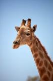Africa;African;African-wildlife;Angolan-giraffe;animal;animals;Botswana;desert;deserts;game-drive;game-viewing;Gemsbok-National-Park;Giraffa-camelopardalis;Giraffa-camelopardalis-angolensis;giraffe;giraffes;herd;herds;Kalahari-Desert;Kalahari-Gemsbok-N.P.;Kalahari-Gemsbok-National-Park;Kalahari-Gemsbok-NP;Kgalagadi;Kgalagadi-Park;Kgalagadi-Transfrontier-Park;mammal;mammals;national-park;national-parks;natural;nature;park;parks;Republic-of-South-Africa;reserve;reserves;safari;safaris;South-Africa;South-African-Republic;Southern-Africa;tall;wild;wilderness;wildlife