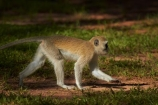 Africa;Chlorocebus-pygerythrus;Chlorocebus-pygerythrus-pygerythus;mammal;mammals;monkey;monkeys;primate;primates;Southern-Africa;V.F.;Vervet;Vervet-monkey;Vervet-monkeys;Vervets;VF;Vic-Falls;Vic.-Falls;Victoria-Falls;Victoria-Falls-Market;wildlife;Zimbabwe