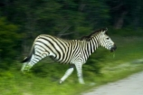 Africa;animal;animals;black-amp;-white;black-and-white;blur;blurred;Chapmans-zebra;Chapmans-zebras;Chapmans-zebra;Chapmans-zebras;Equus-quagga;Equus-quagga-chapmani;game-park;game-parks;game-reserve;game-reserves;Hwange-N.P.;Hwange-National-Park;Hwange-NP;mammal;mammals;movement;national-park;national-parks;plains-zebra;plains-zebras;run;running;Southern-Africa;Wankie-Game-Reserve;wildlife;wildlife-park;wildlife-parks;wildlife-reserve;wildlife-reserves;zebra;zebras;Zimbabwe