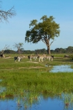 Africa;animal;animals;Chapmans-zebra;Chapmans-zebras;Chapmans-zebra;Chapmans-zebras;Equus-quagga;Equus-quagga-chapmani;game-park;game-parks;game-reserve;game-reserves;herd;herd-of-zebra;herds;Hwange-N.P.;Hwange-National-Park;Hwange-NP;mammal;mammals;national-park;national-parks;plains-zebra;plains-zebras;pond;ponds;Southern-Africa;Wankie-Game-Reserve;water;waterhole;waterholes;wildlife;wildlife-park;wildlife-parks;wildlife-reserve;wildlife-reserves;zebra;zebra-herd;zebra-herds;zebras;Zimbabwe