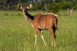 Africa;animal;animals;antelope;antelopes;female;female-kudu;female-kudus;females;game-park;game-parks;game-reserve;game-reserves;Greater-Kudu;Greater-Kudus;Hwange-N.P.;Hwange-National-Park;Hwange-NP;Kudu;Kudus;mammal;mammals;national-park;national-parks;Southern-Africa;Tragelaphus-strepsiceros;Wankie-Game-Reserve;wildlife;wildlife-park;wildlife-parks;wildlife-reserve;wildlife-reserves;Zimbabwe