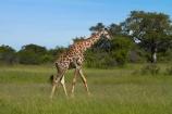 Africa;Angolan-giraffe;Angolan-giraffes;animal;animals;game-park;game-parks;game-reserve;game-reserves;Giraffa-camelopardalis;Giraffa-camelopardalis-angolensis;giraffe;giraffes;Hwange-N.P.;Hwange-National-Park;Hwange-NP;mammal;mammals;national-park;national-parks;Southern-Africa;Wankie-Game-Reserve;wildlife;wildlife-park;wildlife-parks;wildlife-reserve;wildlife-reserves;Zimbabwe