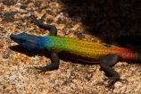 Africa;Bulawayo;Bullawayo;colourful;Common-flat-lizard;Common-flat-lizards;flat-lizard;flat-lizards;granite;hill-of-the-spirits;lizard;lizards;Malindidzimu;Matobo-Hills;Matobo-N.P.;Matobo-National-Park;Matobo-NP;Matopos-Hills;Platysaurus-intermedius;Platysaurus-intermedius-rhodesianus;rainbow-lizard;rainbow-lizards;reptile;reptiles;Rhodes-Matopos-N.P.;Rhodes-Matopos-National-Park;Rhodes-Matopos-NP;Southern-Africa;UN-world-heritage-area;UN-world-heritage-site;UNESCO-World-Heritage-area;UNESCO-World-Heritage-Site;united-nations-world-heritage-area;united-nations-world-heritage-site;world-heritage;world-heritage-area;world-heritage-areas;World-Heritage-Park;World-Heritage-site;World-Heritage-Sites;Worlds-View;Worlds-View;Zimbabwe