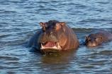 Africa;African;African-animals;African-wildlife;animal;animals;hippo;hippopotami;hippopotamus;Hippopotamus-amphibius;hippopotamuses;hippos;mammal;mammals;mouth;river;rivers;Southern-Africa;teeth;tusks;wildlife;yawn;Zambezi;Zambezi-River;Zimbabwe