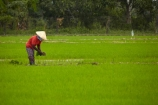 agricultural;agriculture;Asia;Asian;Asian-conical-hat;Asian-conical-hats;conical-hat;conical-hats;country;countryside;crop;crops;farm;farming;farmland;farms;female;females;field;fields;hard-work;horticulture;Indochina;ladies;lady;leaf-hat;leaf-hats;meadow;meadows;Mekong-Delta;non-la;nón-lá;paddock;paddocks;paddy-field;paddy-fields;palm_leaf-conical-hat;pasture;pastures;people;person;rice-field;rice-fields;rice-paddies;rice-paddy;rural;South-East-Asia;Southeast-Asia;Tan-Hoa;Tien-Giang;Tien-Giang-Province;Vietnam;Vietnamese;Vietnamese-conical-hat;Vietnamese-conical-hats;Vietnamese-hat;Vietnamese-hats;Vietnamese-symbol;woman;women;worker;workers