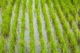 agricultural;agriculture;Asia;Asian;country;countryside;crop;crops;farm;farming;farmland;farms;field;fields;flooded;horticulture;meadow;meadows;Mekong-Delta;paddock;paddocks;paddy-field;paddy-fields;pasture;pastures;rice-field;rice-fields;rice-paddies;rice-paddy;row;rows;rural;South-East-Asia;Southeast-Asia;Tan-Hoa;Tien-Giang;Tien-Giang-Province;Vietnam;Vietnamese;water;wet