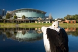 Adelaide;Adelaide-Convention-Centre;animal;animals;aquatic-bird;aquatic-birds;Australasian;Australia;Australian;Australian-Pelican;bird;birds;calm;conference-centre;lake;Lake-Torrens;lakes;marine-bird;marine-birds;Pelecanus-conspicillatus;pelican;pelicans;placid;quiet;reflection;reflections;river;River-Torrens;rivers;S.A.;SA;serene;sleep;sleeping;smooth;South-Australia;State-Capital;still;Torrens-Lake;Torrens-River;tranquil;water;water-bird;water-birds;Wildlife