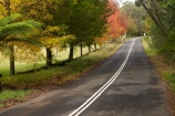 Australia;autuminal;autumn;autumn-colour;autumn-colours;autumnal;avenue;avenues;Blue-Mountains;Cathedral-Reserve;color;colors;colour;colours;deciduous;fall;leaf;leaves;Liquid-Amber;Liquidambar-styraciflua;Mount-Irvine-Rd;Mount-Irvine-Road;Mount-Wilson;Mt-Wilson;Mt.-Wilson;N.S.W.;New-South-Wales;NSW;raods;road;season;seasonal;seasons;tree;trees