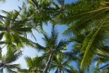 Australasian;Australia;Australian;Cairns;frond;fronds;North-Queensland;palm;Palm-Beach;Palm-Cove;palm-tree;palm-trees;palms;Qld;Queensland;Tropical-North-Queensland