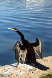 A.C.T.;ACT;Anhinga-melanogaster;Animal;animals;Australia;Australian-Capital-Territory;Avian;Beak;Bird;bird-watching;bird_watching;birds;calm;Canberra;capital;capitals;Darter;Fauna;Feather;lake;Lake-BG;Lake-Burley-Griffin;lakes;Natural;Nature;Ornithology;placid;quiet;reflection;reflections;serene;smooth;still;tranquil;water;wild;Wildlife;Wing