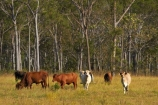 agricultural;agriculture;Australasian;Australia;Australian;brahman-cattle;brahman-cow;brahman-cows;cattle;country;countryside;cow;cows;Darwin;eucalypt;eucalypts;eucalyptus;eucalytis;farm;farming;farmland;farms;field;fields;gum;gum-tree;gum-trees;gums;livestock;meadow;meadows;N.T.;Northern-Territory;NT;paddock;paddocks;pasture;pastures;rural;Top-End;tree;trees