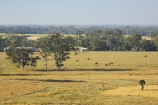 agricultural;agriculture;australasia;Australia;australian;beef;cattle;cow;cows;eucalyptus;farm;farming;farmland;farms;field;fields;gum-tree;gum-trees;hervey-bay;meadow;meadows;open;paddock;paddocks;pasture;pastures;Queensland;rural;tree;trees