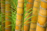 bamboo;flora;foliage;Natural-background;Natural-backgrounds;Nature;pattern;patterns;plant;plants;stem;stems;tropical;trunk;trunks;vegetation