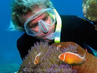 Agincourt-Reef;Agincourt-Reefs;Amphiprion-perideraion;Anemone;Anemones;australasian;Australia;australian;Barrier-Reef;coral-reef;coral-reefs;Coral-Sea;dive-site;dive-sites;diver;divers;diving;Ecosystem;Environment;False-skunk-striped-clown;False-skunk_striped-anemonefish;False-skunkstriped-anemonefish;fish;fishes;Fluffy;free-diver;free-divers;free-diving;Great-Barrier-Reef;Great-Barrier-Reef-Marine-Park;marine;marine-environment;Marine-life;marinelife;North-Queensland;ocean;oceanlife;oceans;people;person;persons;Pink-Anemonefish;Pink-Anemonefishes;Pink-skunk-clown;Pomacentridae;Qld;queensland;reef;reefs;ribbon-reef;ribbon-reefs;ribbonreef;ribbonreefs;Salmon-clownfish;scuba-diver;scuba-divers;scuba-diving;sea;sealife;seas;snorkel;snorkeler;snorkelers;snorkeling;south-pacific;swim;swimmer;swimmers;swimming;tasman-sea;tourism;travel;Tropcial-North-Queensland;tropical-reef;tropical-reefs;under-water;under_water;undersea;underwater;underwater-photo;underwater-photography;underwater-photos;UNESCO-World-Heritage-Site;water;watersport;watersports;Whitebanded-anemonefish;Wiorld-Heritage-Site;world-heritage-area;World-Heritage-Park