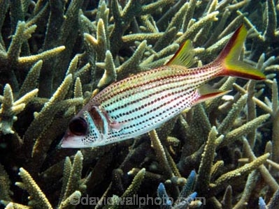 Agincourt-Reef;Agincourt-Reefs;Australasian;Australia;Australian;Barrier-Reef;coral-reef;coral-reefs;Coral-Sea;dive-site;dive-sites;diving;ecosystem;environment;fish;fishes;Great-Barrier-Reef;Great-Barrier-Reef-Marine-Park;Holocentridae;marine;marine-environment;marine-life;marinelife;Neoniphon-sammara;North-Queensland;Ocean;oceanlife;Oceans;Qld;Queensland;reef;reefs;ribbon-reef;ribbon-reefs;ribbonreef;ribbonreefs;scuba-diving;Sea;sealife;Seas;soldierfish;soldierfishes;South-Pacific;Spot_fin-Squirrelfish;Spot_fin-Squirrelfishes;Spotfin-Squirrelfish;Spotfin-Squirrelfishes;Staghorn-Coral;Tasman-Sea;Tropcial-North-Queensland;tropical-reef;tropical-reefs;under-water;under_water;undersea;underwater;underwater-photo;underwater-photography;underwater-photos;UNESCO-World-Heritage-Site;Wiorld-Heritage-Site;World-Heritage-Area;World-Heritage-Park