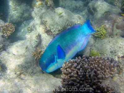 Australasian;Australia;australian;Barrier-Reef;cay;cays;Chlorurus-microrhinos;coasts;coral-cay;coral-cays;coral-reef;coral-reefs;Coral-Sea;dive-site;dive-sites;diving;Ecosystem;Environment;fish;fishes;Gibbus-parrotfish;Great-Barrier-Reef;Great-Barrier-Reef-Marine-Park;Low-Is;Low-Is.;Low-Island;Low-Islands;Low-Isles;marine;marine-environment;marine-life;marinelife;North-Queensland;ocean;oceanlife;Oceans;Qld;queensland;reef;reefs;sand-cay;sand-cays;Scaridae;scuba-diving;sea;sealife;Seas;snorkeling;South-Pacific;Steephead-Parrotfish;Steephead-Parrotfishes;tasman-sea;Tropcial-North-Queensland;tropical;tropical-reef;tropical-reefs;under-water;under_water;undersea;underwater;underwater-photo;underwater-photography;underwater-photos;UNESCO-World-Heritage-Site;water;Wiorld-Heritage-Site;world-heritage-area;World-Heritage-Park;world-heritage-site