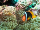 Agincourt-Reef;Agincourt-Reefs;Amphiprion-melanopus;Anemone;Anemones;Australasian;Australia;Australian;Barrier-Reef;Black-Anemonefish;Black-Anemonefishes;coral-reef;coral-reefs;Coral-Sea;dive-site;dive-sites;diving;ecosystem;environment;fish;fishes;Great-Barrier-Reef;Great-Barrier-Reef-Marine-Park;marine;marine-environment;marine-life;marinelife;North-Queensland;Ocean;oceanlife;Oceans;Pomacentridae;Qld;Queensland;reef;reefs;ribbon-reef;ribbon-reefs;ribbonreef;ribbonreefs;scuba-diving;Sea;sealife;Seas;South-Pacific;Tasman-Sea;Tropcial-North-Queensland;tropical-reef;tropical-reefs;under-water;under_water;undersea;underwater;underwater-photo;underwater-photography;underwater-photos;UNESCO-World-Heritage-Site;Wiorld-Heritage-Site;World-Heritage-Area;World-Heritage-Park