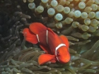 Agincourt-Reef;Agincourt-Reefs;Anemone;Anemones;Australasian;Australia;Australian;Barrier-Reef;coral-reef;coral-reefs;Coral-Sea;dive-site;dive-sites;diving;ecosystem;environment;fish;fishes;Great-Barrier-Reef;Great-Barrier-Reef-Marine-Park;marine;marine-environment;marine-life;marinelife;North-Queensland;Ocean;oceanlife;Oceans;Pomacentridae;Premnas-biaculeatus;Qld;Queensland;reef;reefs;ribbon-reef;ribbon-reefs;ribbonreef;ribbonreefs;scuba-diving;Sea;sealife;Seas;South-Pacific;Spine_cheek-Anemonefish;Spine_cheek-Anemonefishes;Tasman-Sea;Tropcial-North-Queensland;tropical-reef;tropical-reefs;under-water;under_water;undersea;underwater;underwater-photo;underwater-photography;underwater-photos;UNESCO-World-Heritage-Site;Wiorld-Heritage-Site;World-Heritage-Area;World-Heritage-Park
