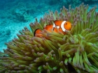 Agincourt-Reef;Agincourt-Reefs;Amphiprion-ocellaris;Anemone;Anemones;Australasian;Australia;Australian;Barrier-Reef;Clown-Anemonefish;Clown-Anemonefishes;clownfish;clownfishes;common-clownfish;common-clownfishes;coral-reef;coral-reefs;Coral-Sea;dive-site;dive-sites;diving;ecosystem;environment;false-clown-anemonefish;false-clown-anemonefishes;false_clown-anemonefish;false_clown-anemonefishes;fish;fishes;Great-Barrier-Reef;Great-Barrier-Reef-Marine-Park;marine;marine-environment;marine-life;marinelife;nemo;North-Queensland;Ocean;oceanlife;Oceans;Pomacentridae;Qld;Queensland;reef;reefs;ribbon-reef;ribbon-reefs;ribbonreef;ribbonreefs;scuba-diving;Sea;sealife;Seas;South-Pacific;Tasman-Sea;Tropcial-North-Queensland;tropical-reef;tropical-reefs;under-water;under_water;undersea;underwater;underwater-photo;underwater-photography;underwater-photos;UNESCO-World-Heritage-Site;Western-Anemonefish;western-clownfish;Western-Clownfishes;Wiorld-Heritage-Site;World-Heritage-Area;World-Heritage-Park