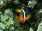 Agincourt-Reef;Agincourt-Reefs;Amphiprion-melanopus;Anemone;Anemones;Australasian;Australia;Australian;Barrier-Reef;Black-Anemonefish;Black-Anemonefishes;coral-reef;coral-reefs;Coral-Sea;dive-site;dive-sites;diving;ecosystem;environment;fish;fishes;Great-Barrier-Reef;Great-Barrier-Reef-Marine-Park;marine;marine-environment;marine-life;marinelife;North-Queensland;Ocean;oceanlife;Oceans;Pomacentridae;Qld;Queensland;reef;reefs;ribbon-reef;ribbon-reefs;ribbonreef;ribbonreefs;scuba-diving;Sea;sealife;Seas;South-Pacific;Tasman-Sea;Tropcial-North-Queensland;tropical-reef;tropical-reefs;under-water;under_water;undersea;underwater;underwater-photo;underwater-photography;underwater-photos;UNESCO-World-Heritage-Site;Wiorld-Heritage-Site;World-Heritage-Area;World-Heritage-Park