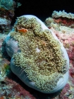Agincourt-Reef;Agincourt-Reefs;Amphiprion-perideraion;Anemone;Anemones;australasian;Australia;australian;Barrier-Reef;coral-reef;coral-reefs;Coral-Sea;dive-site;dive-sites;diving;Ecosystem;Environment;False-skunk-striped-clown;False-skunk_striped-anemonefish;False-skunkstriped-anemonefish;fish;fishes;Great-Barrier-Reef;Great-Barrier-Reef-Marine-Park;marine;marine-environment;Marine-life;marinelife;North-Queensland;ocean;oceanlife;oceans;Pink-Anemonefish;Pink-Anemonefishes;Pink-skunk-clown;Pomacentridae;Qld;queensland;reef;reefs;ribbon-reef;ribbon-reefs;ribbonreef;ribbonreefs;Salmon-clownfish;scuba-diving;sea;sealife;seas;south-pacific;tasman-sea;Tropcial-North-Queensland;tropical-reef;tropical-reefs;under-water;under_water;undersea;underwater;underwater-photo;underwater-photography;underwater-photos;UNESCO-World-Heritage-Site;Whitebanded-anemonefish;Wiorld-Heritage-Site;world-heritage-area;World-Heritage-Park