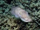 Agincourt-Reef;Agincourt-Reefs;Australasian;Australia;Australian;Barrier-Reef;Cephalopoda;coral-reef;coral-reefs;Coral-Sea;Cuttlefish;Cuttlefishes;cuttles;dive-site;dive-sites;diving;ecosystem;environment;fish;fishes;Great-Barrier-Reef;Great-Barrier-Reef-Marine-Park;invertibrate;marine;marine-environment;marine-life;marinelife;mollusc;mollusca;molluscs;mollusk;mollusks;North-Queensland;Ocean;oceanlife;Oceans;Qld;Queensland;reef;reefs;ribbon-reef;ribbon-reefs;ribbonreef;ribbonreefs;scuba-diving;Sea;sealife;Seas;Sepiida;Sepiidae;South-Pacific;Tasman-Sea;tentacle;tentacles;Tropcial-North-Queensland;tropical-reef;tropical-reefs;under-water;under_water;undersea;underwater;underwater-photo;underwater-photography;underwater-photos;UNESCO-World-Heritage-Site;Wiorld-Heritage-Site;World-Heritage-Area;World-Heritage-Park